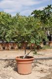 Ficus carica - Higuera arbusto
