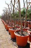 Ficus carica - Higuera cepellón tela metálica