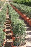 Olea europaea - Olivo arbusto