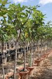 Ficus carica - Figuier DECO