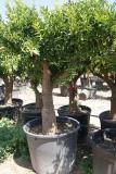 Citrus reticulata - Mandarino ejemplar