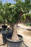 Citrus sinensis - Naranjo ejemplar