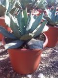 Agave potatorum deco